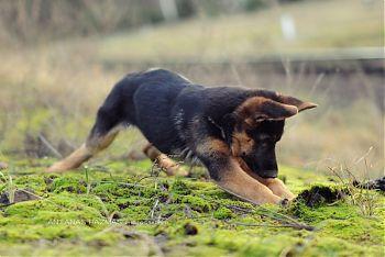 Немецкая овчарка щенок