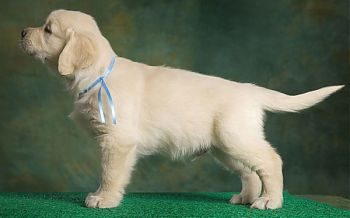 Золотистый ретривер щенок