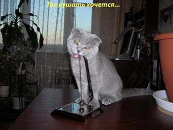 Кошка породы Скоттиш-фолд - фото 1