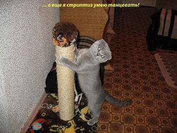 Кошка породы Скоттиш-фолд - фото 2