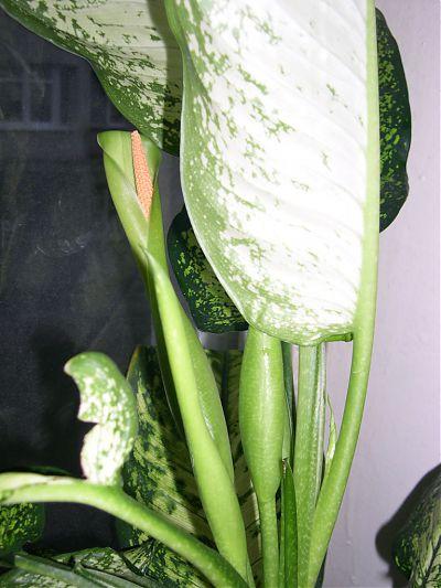 Цветок диффенбахии